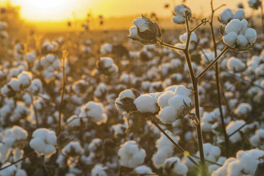 Cottonfield-photo